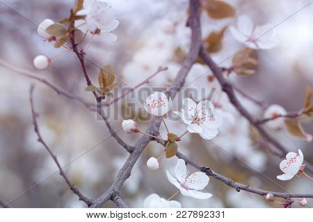 Spring Nature Art Background With Blossom. Beautiful Nature Scene With Blooming Tree.