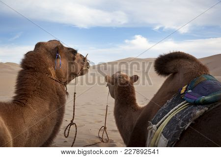 Camel Caravan Resting In The Gobi Desert