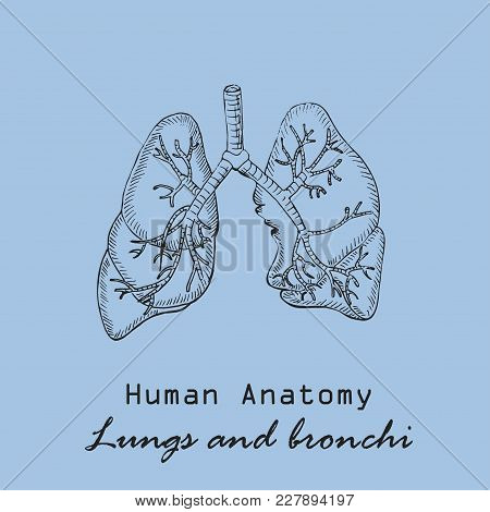 Handdrawn Human Lungs On The Color Background With The Inscription. Human Anatomy Vector. Free Hand