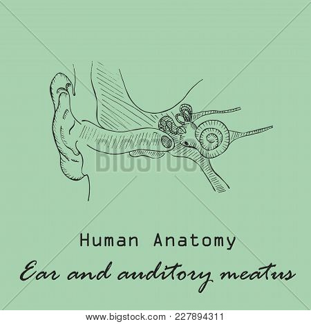 Handdrawn Human External Auditory Meatus On The Color Background With The Inscription. Human Anatomy