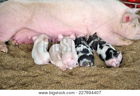 Baby Pigs Suckling Milk From Their Mother