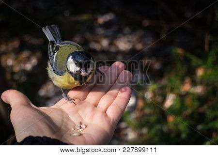 A Trustful Great Tit Sitting On A Hand And Holding Seed In Beak
