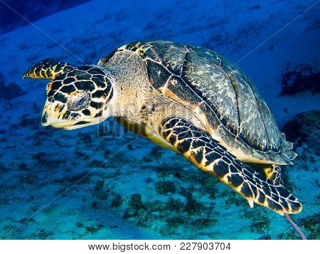 Hawksbill Sea Turtle Swimming Over Sand And Sea Graa
