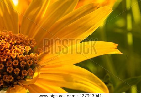 Beautiful Bouquet Of Bright Yellow Flowers Heliopsis Helianthoides On A Sunny Day, Close-up.