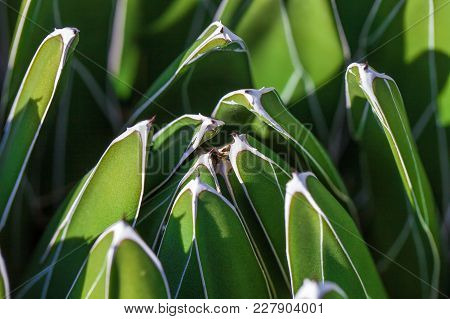 Detail Of Agave Victoriae-reginae (queen Victoria Agave, Royal Agave), A Small Species Of Succulent