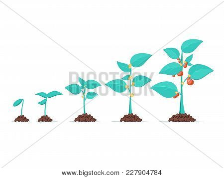 Growth Of Plant, From Sprout To Vegetable. Planting Tree. Seedling Gardening Plant. Timeline Vector