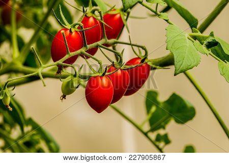 Fresh Cherry Tomato On A Branch In The Garden.
