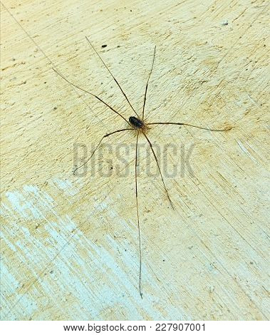 High Angle View On The Small Spider With A Very Long Legs Sitting On The Wall