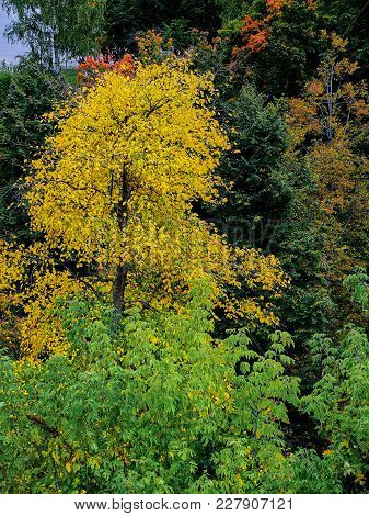 One Beautiful And Tall Yellow Tree Stands Out From The Rest - Autumn Background