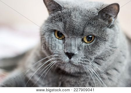 Close-up Of British Shorthair Cat, 8 Years Old
