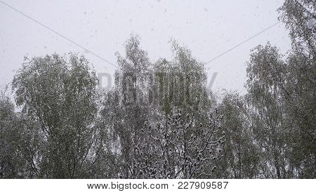 Snow Falling In Beautiful Forest At Winter Day. Forest And Falling Snowflakes.