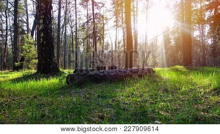 Beautiful Spring Forest. Sun Rays Come Through Tree.