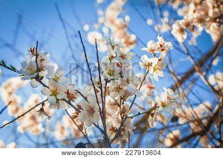 Blooming Almond Tree Against Blue Skies
