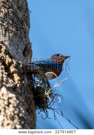 Eastern Bluebird Sialia Sialis