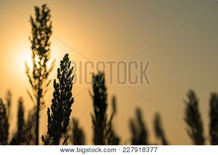 Close Up Sorghum In Field Agent Sunset
