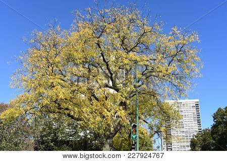 Fall Yellowed Top Of A Tree With Yellow Fall Leaves Extending To The Clear Blue Sky. Fall Background