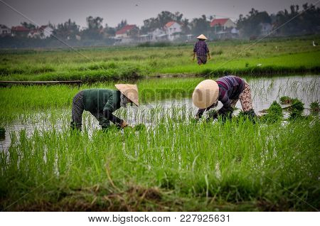 Three Vietnam People Worked Together In The Rice Field