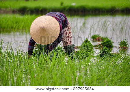 In Raining Reason People In Asia Worked At The Rice Field