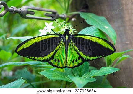The Green Butterfly Birdwing Butterfly (ornithoptera Priamus) Male With Open Wings Is Sitting On The