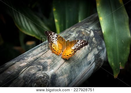 The Butterfly Cruiser Butterfly (vindula Arsine) Femalewith Orange And Brown Wings  Is Sitting On Th
