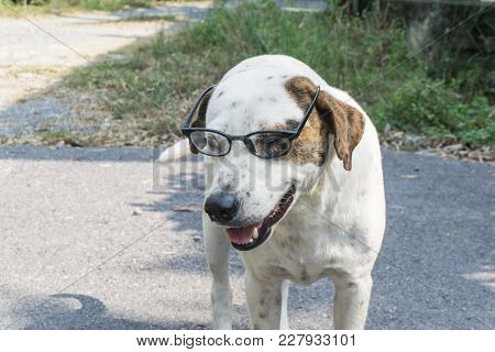 White Dog With A Glass On The Street., With Copy Space For Text., Read Concept. Eye Concept.