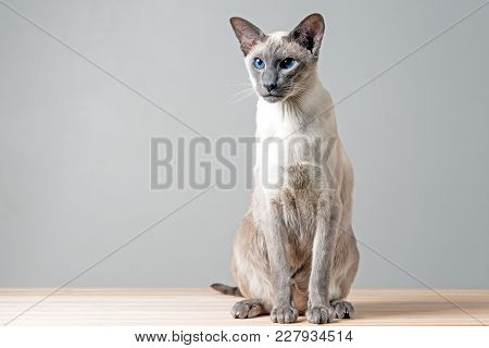 Oriental Cat Sitting On Wooden Table Gray Background