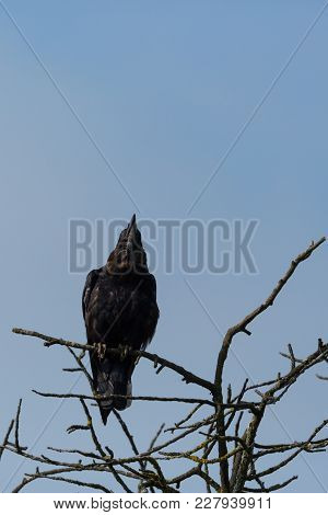Natural Black Corvus Crow Raven Sitting On Branches In Winter, Blue Sky