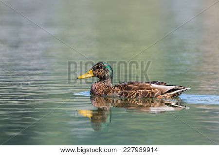 Natural Female Mallard Duck (anas Platyrhynchos) Swimming In Sunlight
