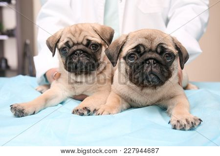 Veterinarian with cute pug puppies in clinic