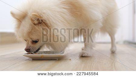 Feeding Pomeranian dog at home