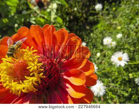 Beautiful Zinnia Flower. Close Up View Of Zinnia Flower In The Summer Garden.