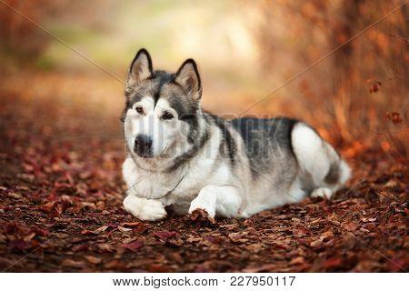 Cute Dog Alaskan Malamute Lying On Autumn Forest