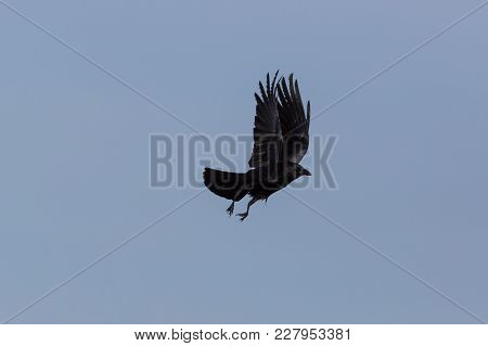 Natural Carrion Crow (corvus Corone) In Flight, Spread Wings, Blue Sky
