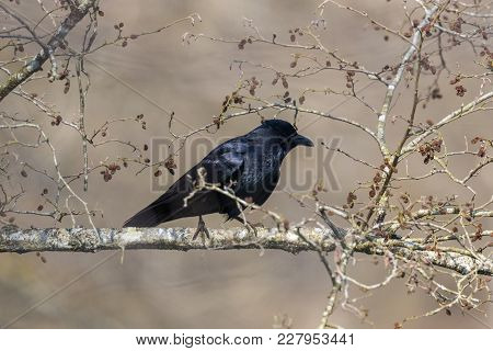 Natural Carrion Crow Raven (corvus Corone) Sitting On Tree Branch