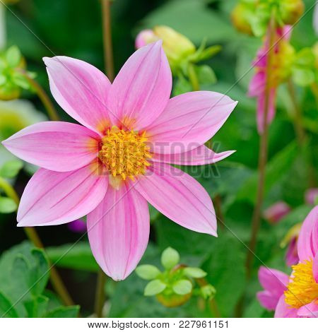 Dahlia On Background Of Flowerbeds. Focus On Flower. Shallow Depth Of Field.