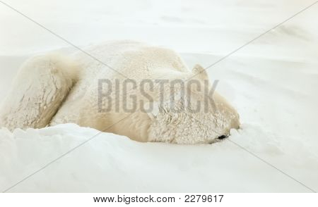 Polar bear sleeping in snow drift one eye on photographer. poster