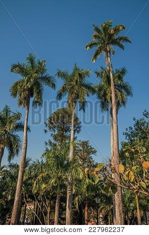 Tall And Leafy Palm Trees Amidst The Vegetation In A Square Garden On Sunny Days In São Manuel. A Cu