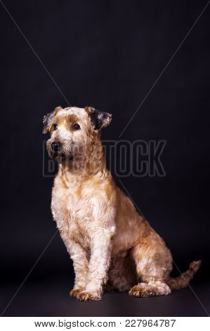One Irish Soft Coated Wheaten Terrier Looking Forward On Black Background At Studio