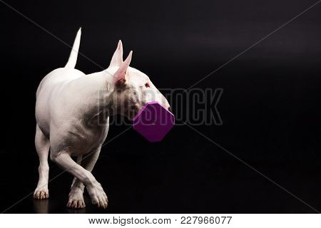 White Bullterrier Looks Aside And Execute The Command Fetch On Black Background At Studio
