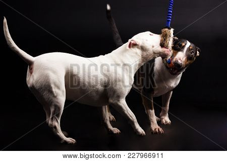 Black And Tan With White And White Bullterrier Plays With Toy On Black Background At Studio