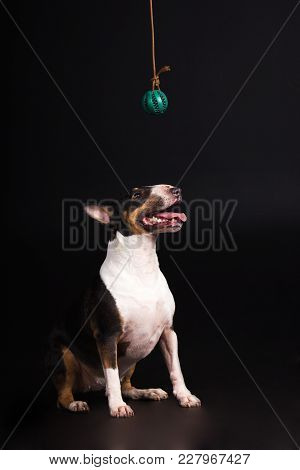 Black And Tan With White Bullterrier Looks Up At Ball And Smiles On Black Background At Studio