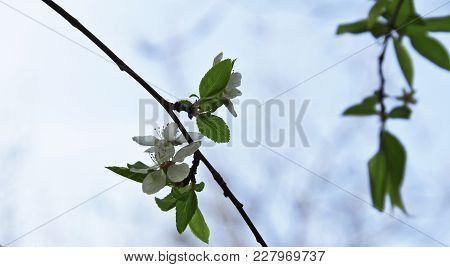 White Flowers Blossoming On The Branch Of Wild Tree