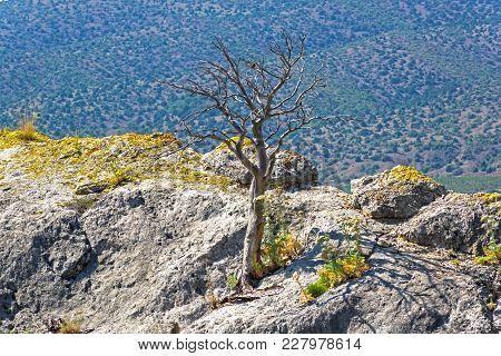 Dead Relic Pine On Top Of The Rock. Silhouette Of A Pine On A Background Of A Wooded Mountain Slope.