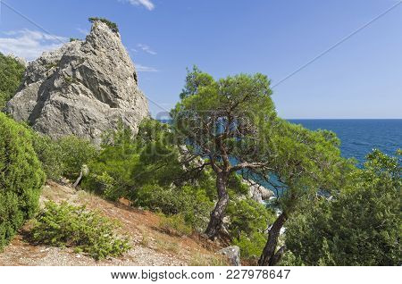 Forest Of Relict Pines And Junipers On A Steep Seashore. Sunny Summer Day. Karaul-oba, Novyy Svet, C