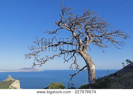 Dead Relic Pine On A Mountain Slope Against A Cloudless Sky. Sunny Summer Day. Novyy Svet, Crimea.