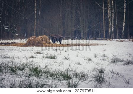 Free Living Wisent In Gruszki Village In Bialowieza Forest, Poland