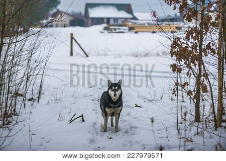 Dog On A Snow In Podlasie Region Of Poland