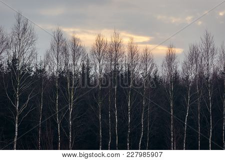 Birch Trees In Kruszyniany, Small Village In Podlasie Region Of Poland