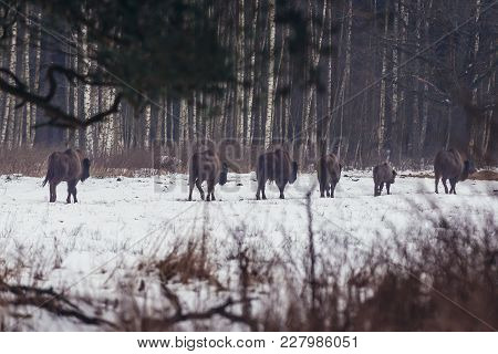 Free Living Herd Of Wisents On The Edge Of Bialowieza Forest In Podlasie Region, Poland