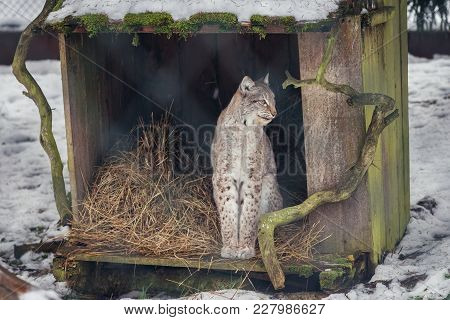 Lynx In Show Reserve Of Bialowieza Forest National Park In Poland